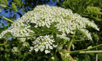 giant_hogweed_flower_umbrel.jpg