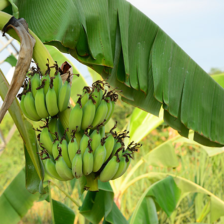 Grand-Nain-'Naine'-Banana-Tree-4-450w.jpg